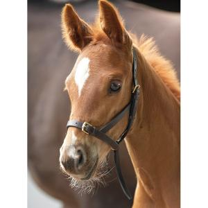 Blenheim Leather Foal Slip Havana